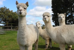 Alpaca and Llama Insurance